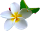 white plumer Hawaiian flower