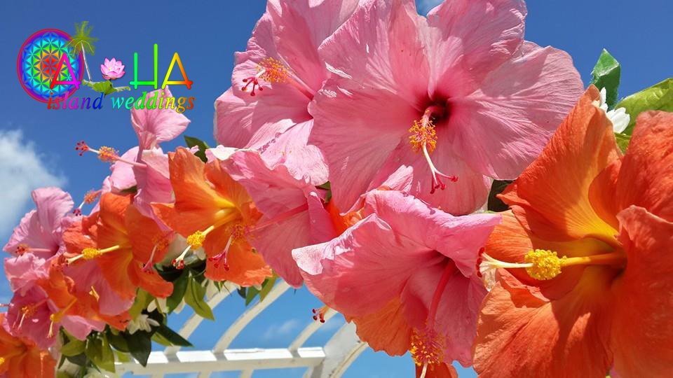 large pink and orange hibiscus on the wedding trellis under the blue sky at Makapuu beach on Oahu